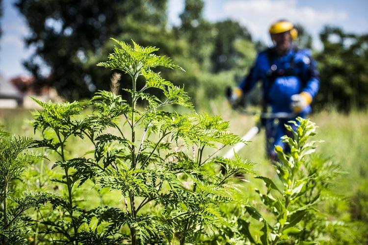 Ungarn und Burgenland: gemeinsames Projekt gegen Ragweed