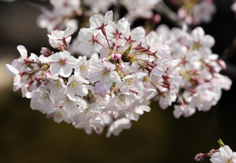 Japanische Kirschblüte in Budapest