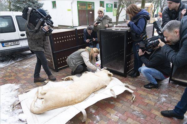 Ungarische Löwen reisen nach Israel