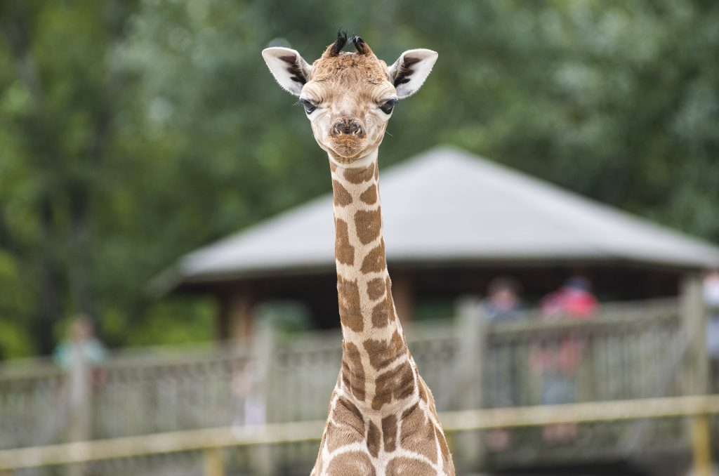 Rothschild Giraffe in Nyíregyháza geboren