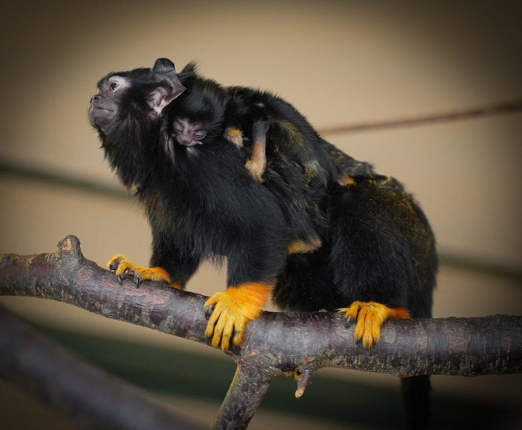 Rothandtamarin-Twins im Debrecen Zoo geboren post's picture