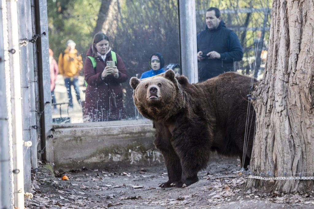 Bär des Budapester Zoos sagt langen Winter voraus