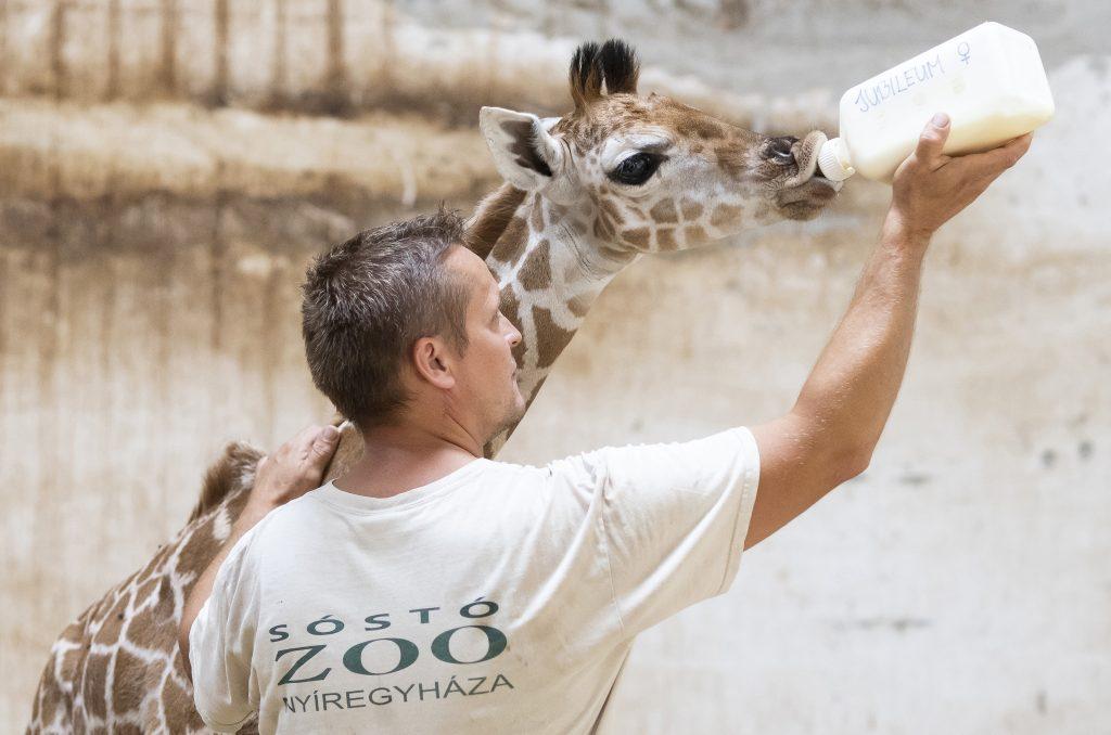 Kleine Giraffe in Nyíregyháza geboren