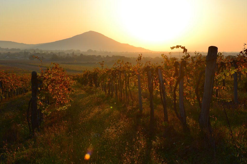 Winzerverband: 2,5 Mio. Hektoliter Wein erwartet