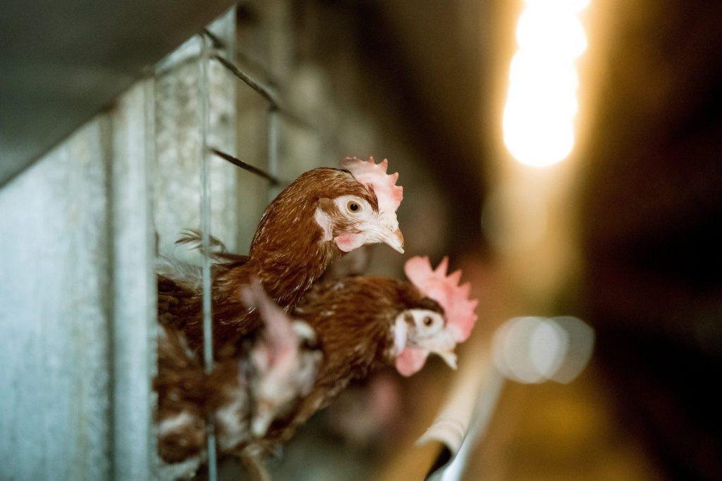 Vogelgrippe-Virus: Weitere 101 Tausend Legehennen auf einer Farm geschlachtet