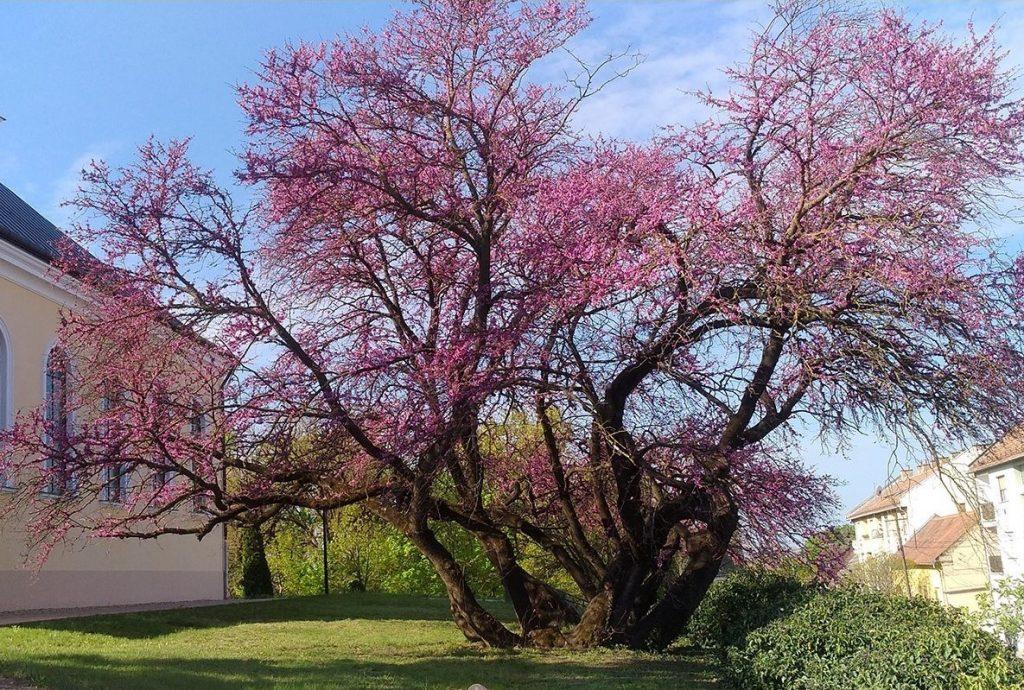 Europäischer Baum des Jahres: Judasbaum aus Südungarn unter den Kandidaten