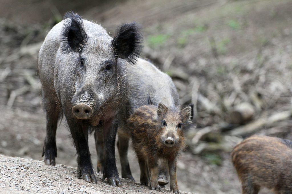 Bogenschützen kämpfen gegen Wildschweine in Buda