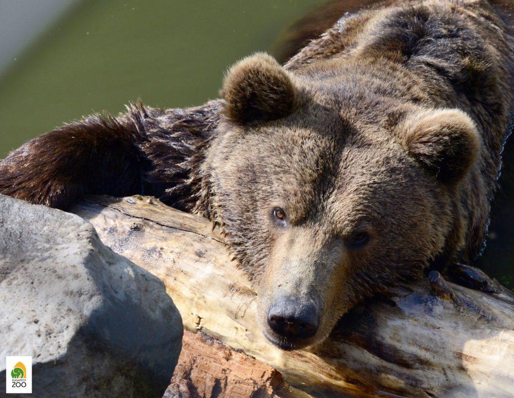 Bär sah seinen eigenen Schatten nicht: Es ist mit kurzem Winter zu rechnen