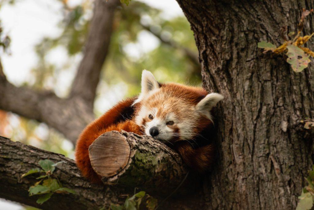 Roter Panda zieht von Debrecen nach Nordindien