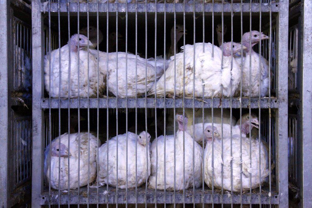 Vogelgrippe auf Truthahnfarm in Ost-Ungarn identifiziert