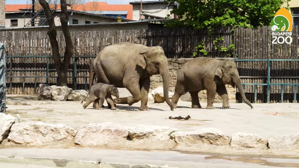 Elefantenbaby im Budapester Zoo geboren! VIDEO!