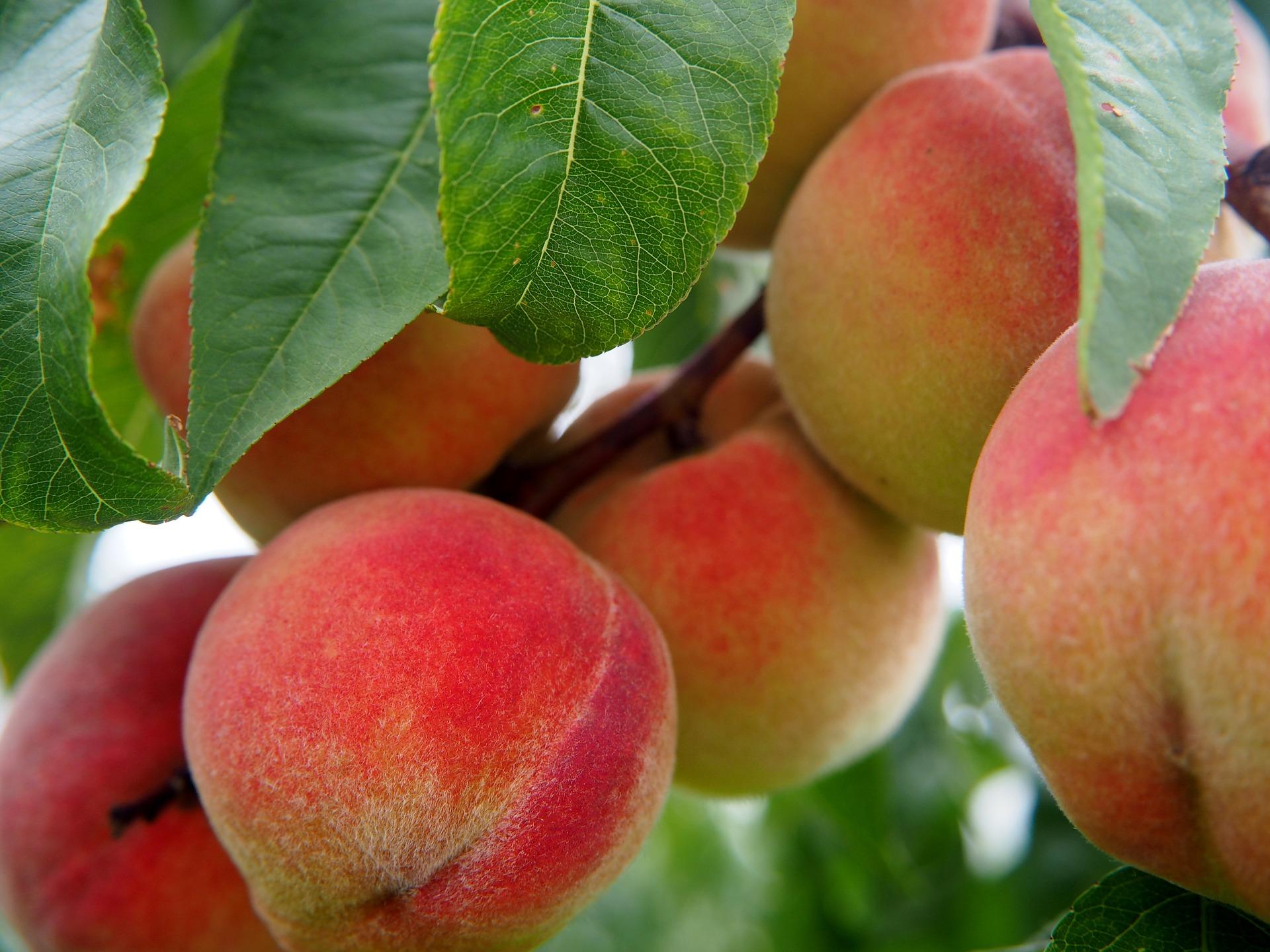 Frost im Frühling schadet ungarischem Obstbau