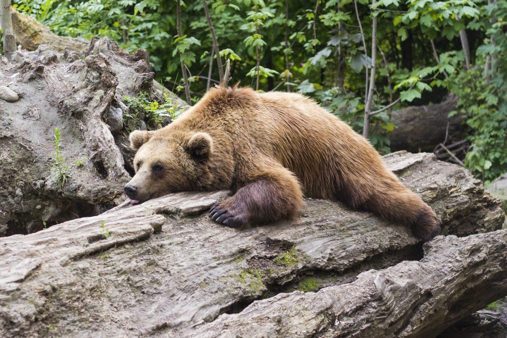 Bärenfamilie wandert im Cserhát-Gebirge post's picture