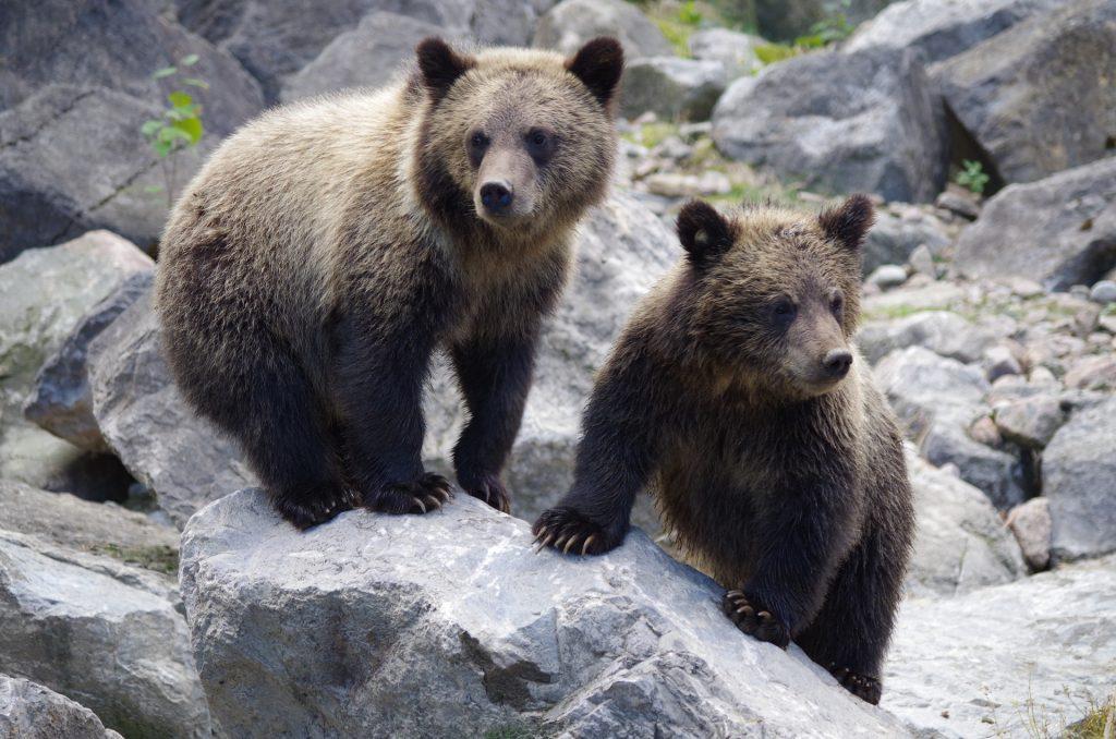 Ein Bär soll am Plattensee rumschleichen post's picture