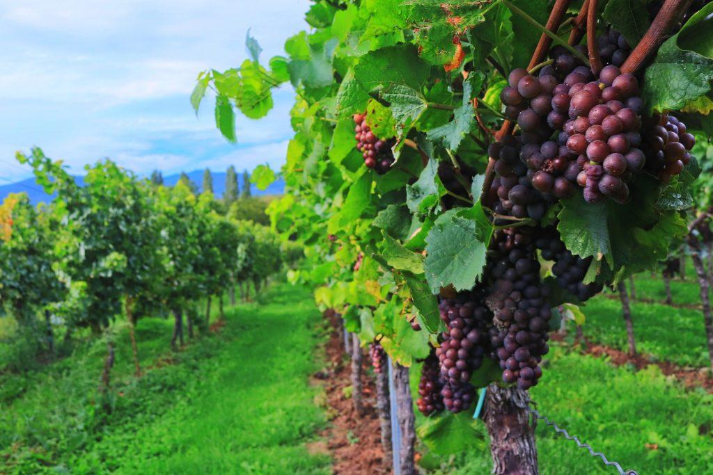 Heuriger Wein: Teurer, weniger, aber gute Qualität post's picture