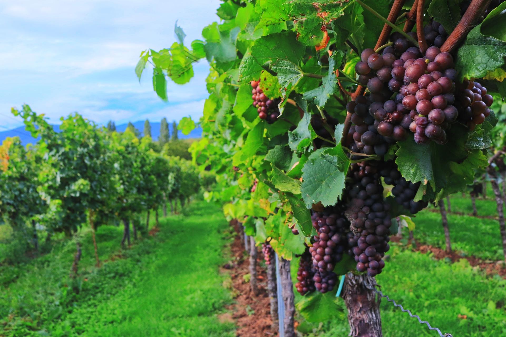 Heuriger Wein: Teurer, weniger, aber gute Qualität